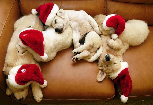 cute-christmas-puppies